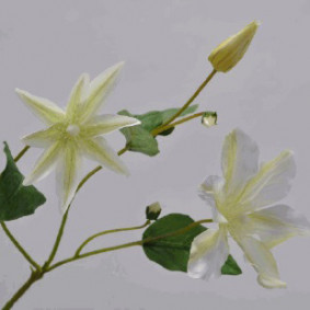 Clematis Spray - White