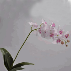 Phalaenopsis Orchid with Leaves - White and Pink