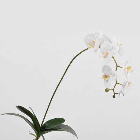 Phalaenopsis Orchid with Leaves - White