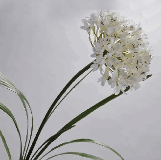 Agapanthus Stem - White